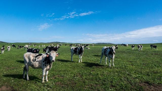 【Hokkaido; Full-time】Dairy Farming Jobs in a Massive and Beautiful Ranch